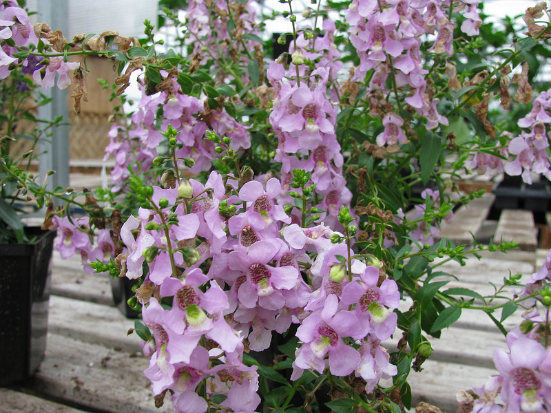 potted angelonia serena is easy to love and hard to kill, requiring minimal maintenance while making your patio beautiful