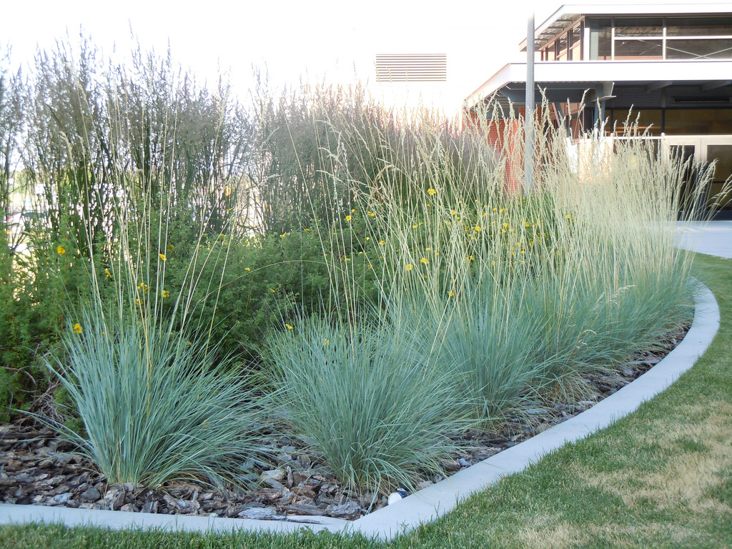 blue oat grass makes a great low maintenance accent plant for your patio