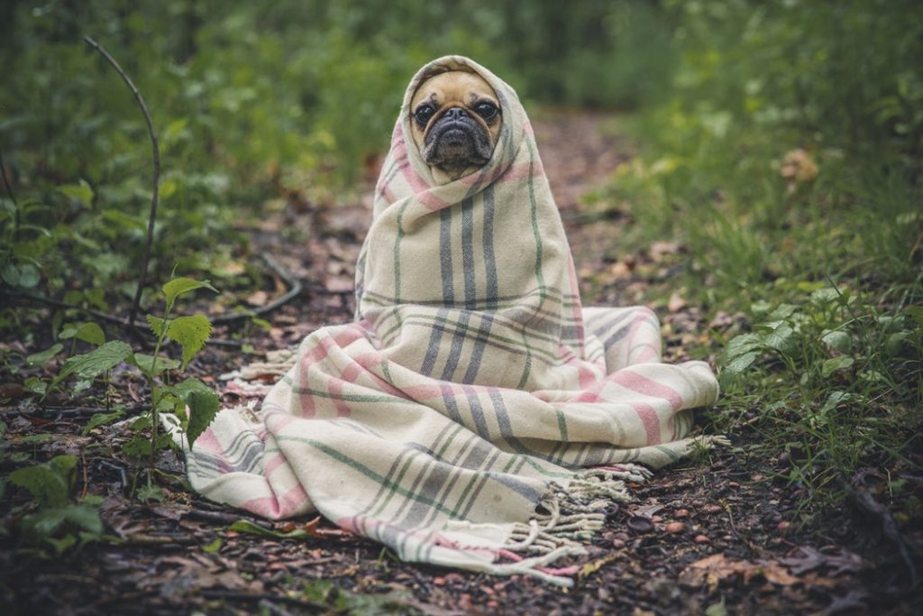 pug covered in blanket avoiding mosquitoes