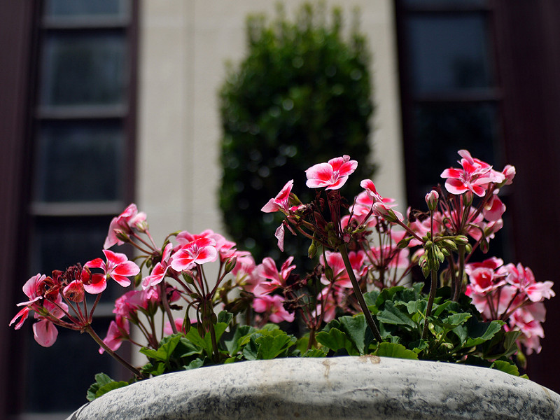 potted geraniums are classic low-maintenance patio flowers that look and smell great