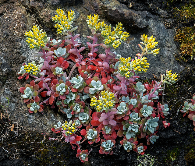 the sedum plant is a succulent that is perfect for a patio or yard where water is at a premium